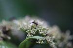 Giant black ant [panama_0847]
