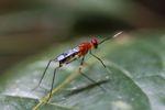 Wasp [panama_0854]