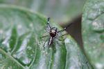 Jumping spider [panama_0866]
