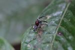 Jumping spider [panama_0869]