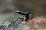 Tiny frog (Silverstoneia flotator)