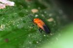 Orange and black beetle [panama_0918]