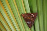Skipper butterfly [panama_0944]