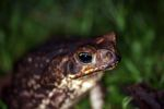 Giant cane toad