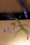 Green stick insect [panama_0960]