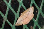 Leaf-mimicking moth
