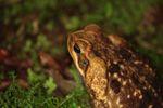 Cane toad [panama_0973]