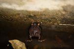Singing Tungara Frog [panama_0983]