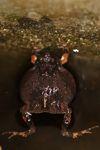 Singing Tungara Frog [panama_0984]
