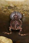 Singing Tungara Frog [panama_0987]