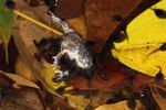 Carnivorous tadpoles eating a frog [panama_0997]