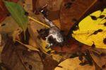 Carnivorous tadpoles eating a Tungara Frog