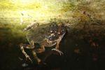 Mating frogs [panama_0999]