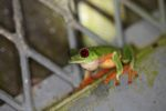 Red-eyed tree frog on BCI [panama_1000]