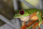 Red-eyed tree frog on BCI [panama_1001]