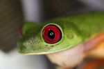Red-eyed tree frog on BCI [panama_1004]