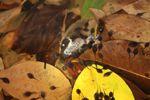Carnivorous tadpoles eating a frog [panama_1008]