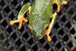 Red-eyed tree frog on BCI [panama_1012]