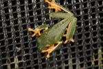 Red-eyed tree frog on BCI [panama_1017]