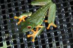 Red-eyed tree frog on BCI [panama_1018]