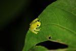 Powdered glass frog (Cochranella pulverata)