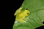 Powdered glass frog (Cochranella pulverata) [panama_1045]