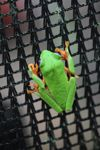 Red-eyed tree frog on a greenhouse on BCI [panama_1066]