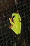 Red-eyed tree frog on a greenhouse on BCI