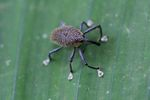 Weevil with white feet