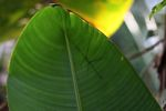 stick insect seen through a heliconia leaf