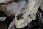 Rainforest rocket frog (Silverstoneia flotator) [panama_1092]