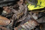 Leaf toad (Bufo typhonius alatus)