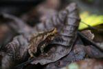 Leaf toad (Bufo typhonius alatus) [panama_1103]