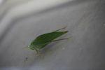 Leaf-mimicking katydid [panama_1120]