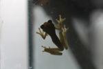 Hyloscirtus colymba tree frog [panama_1131]
