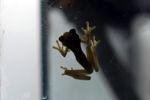 Hyloscirtus colymba tree frog [panama_1132]