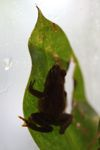 Undescribed Pristimantis frog species [panama_1169]