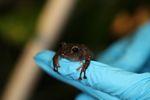 Undescribed Pristimantis frog species [panama_1171]