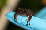 Undescribed Pristimantis frog species
