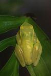 Hyloscirtus colymba tree frog