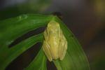 Hyloscirtus colymba tree frog [panama_1185]