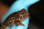 Caraugastor toad [panama_1188]