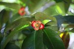 Red fruit [panama_1198]