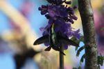 Hummingbird [panama_1225]