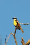 Social flycatcher [panama_1229]