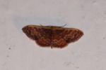 Moth [panama_1247]