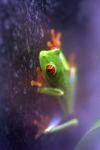 Red-eyed Treefrog (Agalychnis callidryas) [panama_1255]