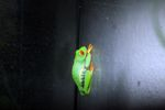 Red-eyed Treefrog (Agalychnis callidryas) [panama_1261]