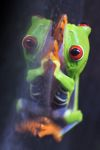Red-eyed Treefrog (Agalychnis callidryas) [panama_1265]