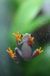 Red-eyed Treefrog (Agalychnis callidryas) [panama_1269]